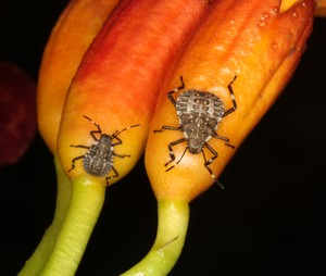 The Stink Bug Eats Healthy--photo from ento.psu.edu