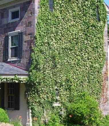 Ivy And Vines Attribute Or Detriment Old House Web